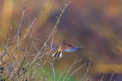 Bruant zizi (Emberiza cirlus) (yann.dimauro) Tags: france animal fr extrieur oiseau rhone rhnealpes ornithologie montagny