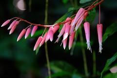 Pretty in pink (halifaxlight) Tags: pink white flower green forest spider costarica bokeh tropical manuelantonionationalpark blooms lush manuelantonio