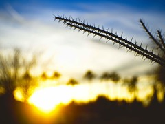 Octotillo branch and sunset. (isaacullah) Tags: