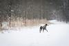 Winterspaziergang (blumenbiene) Tags: schnee winter dog white snow black dogs female forest walking hund wald schwarz dalmatian hunde spaziergang dalmatiner weis hündin