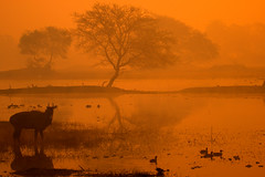 Bharatpur Mornings (sunnyoberoi) Tags: morning trees winter light india mist cold nature water golden surreal dreamy bluebull