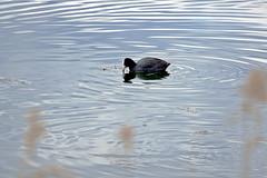 Folaga CROP (massimocenedese) Tags: sony natura uccelli animali a6000