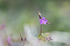 Fleur rose-violette en fort tropicale (zambaville) Tags: macro fleur canon eos is usm fort proxy flore tropicale f28l ef100mm roseviolet lesquelin 5dsr