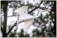 Great Egret (ctofcsco) Tags: trees orange usa white black green bird nature yellow canon georgia geotagged iso800 flying inflight unitedstates outdoor wildlife explore 5d f56 egret 1500 56 greategret superzoom 350mm waycross eos5d hebardville ef353503556lusm geo:lat=3123954518 geo:lon=8235577942