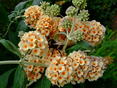 Buddleja (yewchan) Tags: flowers flower nature colors beautiful beauty closeup garden flora colours buddleia gardening vibrant blossoms blooms lovely butterflybush buddleja