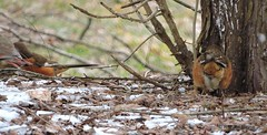 Female Eastern Towhee_N9237 (Henryr10) Tags: bird avian towhee littlemiamiriver easterntowhee pipiloerythrophthalmus pipilo erythrophthalmus cincinnatiparkboard magrishriverlandspreserve nationalsceniclittlemiamiriver
