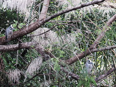 Yellow-crowned Night-Herons Canon SX700 HS 20160211 (Kenneth Cole Schneider) Tags: florida miramar westbrowardwca