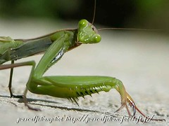 DSCN6202 (Kwign-Amann.eu) Tags: macro green nature insect eyes