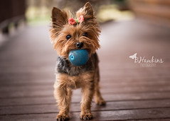 """"""" Everyday is a happy day when you play outside""""  Lily (BHawk Photography) Tags: winter dog yorkie outside play lily yorshireterrier lilybet bhawkinsphotography"""