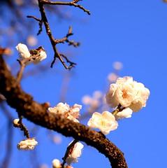 -- (m-miki) Tags: flower japan spring blossoms plum       d610