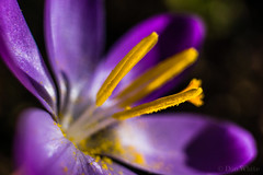 Crocus (Don White (Burnaby) Thanks for the Three Million V) Tags: macro bokeh crocus pollen extensiontube flowersplants 26mm sigma30mmf28