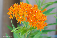 Butterfly Weed (Asclepias tuberosa) (KristenMartyn) Tags: plants ontario flower garden flora tour gardening outdoor wildflowers milkweed tours wildflower nativeplants indoorplants nativeplant butterflyweed asclepiastuberosa