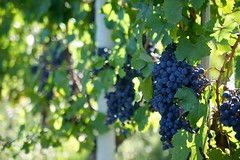 Langhe, Piemonte (--Eli--) Tags: wine alba natura piemonte bianca uva settembre vigne barbaresco vino barolo vendemmia barbera langhe rossa viti grappolo roero nebbiolo dolcetto enogastronomia vitigni