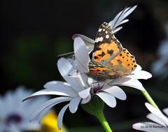 DSC_0140 (rachidH) Tags: flowers vanessa nature cosmopolitan blossoms egypt butterflies insects bee cairo papillon daisy blooms dame africandaisy cynthia paintedlady osteospermum vanessacardui blueeyeddaisy vanessedeschardons labelledame vanesse rachidh