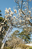 Plum Blossoms (shuigao25) Tags: japan spring odawara plumblossoms plumtrees odawaracastle