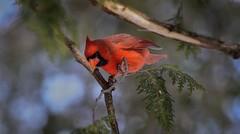 Cardinal Rouge --- Northern Cardinal --- Cardinale --- nikon d750 70-300 (Jacques Sauv) Tags: canada les de rouge la nikon montral cardinal du qubec d750 sur boucherville stlaurent northern parc pres 70300 frayre cardinale rives