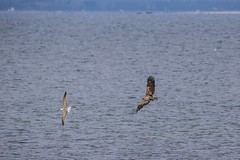 Seeadler (goreck267) Tags: canon eos 150 600 tamron wismar ostsee vogel 6d seeadler inselpoel