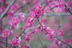 Prunis mume, Van Dusen Gardens (ScarletBlack) Tags: pink pinkflowers plumblossoms pinkblossoms prunusmume