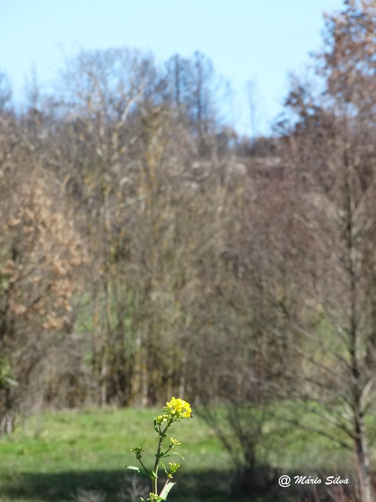 Águas Frias (Chaves) - ... uma única flor ...