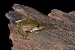 Mist Frog (Litoria rheocola) (shaneblackfnq) Tags: mist rainforest north australia frog mossman queensland tropical far tropics fnq litoria shaneblack rheocola