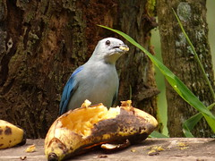 Viuda (Thraupis episcopus) (Jorge Solís Campos) Tags: naturaleza bird nature animal fauna costarica wildlife ave wildanimal pájaro thraupisepiscopus viuda animalsalvaje pérezzeledón vidasalvaje