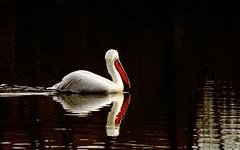 pellicano (La Bricalla) Tags: park parco lake nature birds canon lago eos beak natura pelican riccio 750 pelecanus crispus becco pellicano torbiera latorbiera dalmatico