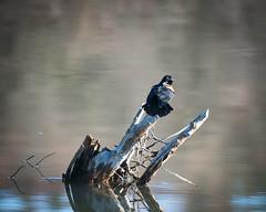 Redwing Blackbird II (Lost in the Hills) Tags: morning color spring nikon exterior naturallight clear logan appalachia hockinghills d800 redwingedblackbird lakelogan hockingcounty nonurbanscene 200500mm landscapeformat lostinthehills romanwilshanetsky
