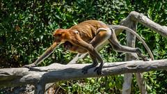 PROBOSCIS MONKEY , FEMALE WITH BABY P3150587.jpg (Marc Weinberg) Tags: baby female monkey philippines olympus borneo primate indigenous proboscismonkey getolympus olympusomdem1