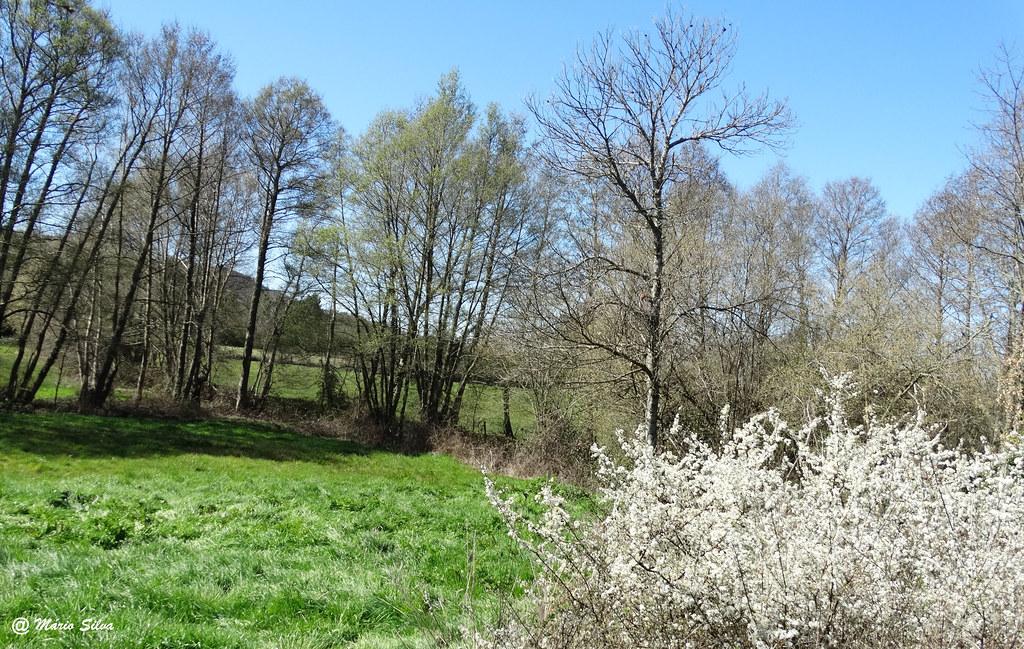 Águas Frias (Chaves) - ... arbustos floridos ... a primavera chegou ...