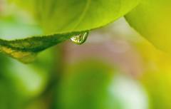 Llgrima de primavera en verd (jocsdellum) Tags: verde green hoja primavera water leaf spring agua soft drop gota aftertherain suave aigua verd fulla despusdelalluvia suau desprsdelapluja