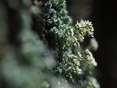 20150608-005F (m-klueber.de) Tags: italien flora italia album alpen toscana crassulaceae alpi sedum apuane toskana weiser 2015 mediterrane europische azzano mauerpfeffer apuanische dickblattgewchse mkbildkatalog 20150608 sdeuropische 20150608003f