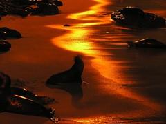 Seal Cove (Rand Luv'n Life) Tags: ocean california sea beach night reflections outdoors golden la harbor sand marine san solitude cove magic diego daily lions seals sanctuary jolla celebrating odc
