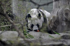 Edinburgh zoo (PhylB) Tags: panda tiantian edinburghzoo