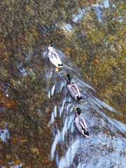 P1150669 (omirou56) Tags: travel november nature water river europe natur natura greece 43 trikala thessalia          panasoniclumixdmctz40