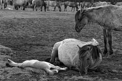 Wild Horses in black-and-white - Foal - 2016-017_Web (berni.radke) Tags: horse pony herd nordrheinwestfalen colt wildhorses foal fohlen croy herde dlmen feralhorses wildpferdebahn merfelderbruch merfeld przewalskipferd wildpferde dlmenerwildpferd equusferus dlmenerpferd dlmenpony herzogvoncroy wildhorsetrack