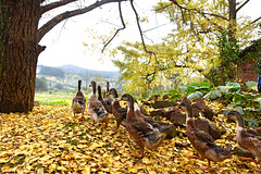 Ducks (MelindaChan ^..^) Tags: life china autumn fall yellow rural countryside duck ginkgo village guilin mel poultry melinda guangxi   chanmelmle melindachan