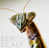 Tenodera aridifolia - 40mm macro (ben.scalf) Tags: ohio macro nature animal closeup bug mantis insect nikon cincinnati wildlife praying chinese science micro 40mm dslr biology prayingmantis lightroom d3200