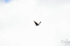 17042016DSC_0124.jpg (Ignacio Javier ( Nacho)) Tags: espaa flickr aves es facebook castillaylen rapaces naturea faunayflora sargentesdelalora