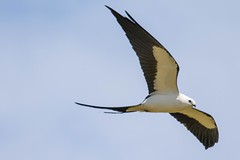 7K8A9641 (rpealit) Tags: park kite bird nature scenery wildlife national everglades swallowtailed
