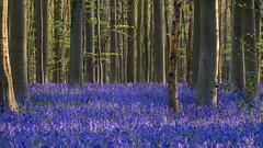 TDE_9555.jpg (tim.delmoitie.photography) Tags: flowers wild nikon purple belgium belgi sigma tamron halle bloemen hyacinth paars hallerbos hyacint bloemenpracht nikond7100