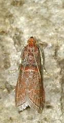 20070816_0194 klein.jpg (henk.wallays) Tags: macro nature closeup insect wildlife natuur lepidoptera date falter insekt arthropoda insecte aaaa schmetterlinge vlinders 2014 insecta micromoths henkwallays 201405  skubvlerkiges    microlepidopteraspecies
