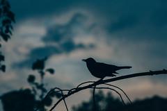 Blackbird silhouette (brenkee) Tags: blue bird silhouette clouds canon sing blackbird 70200f28 vsco 5dmarkii 5dii