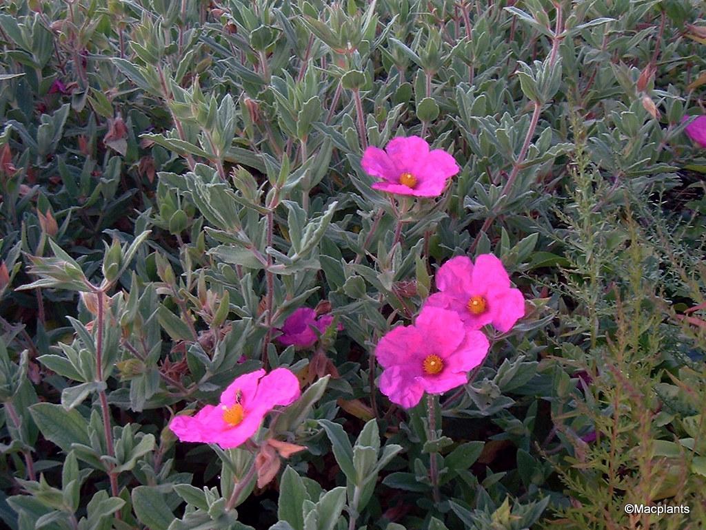 Cistus x pulverulentus 'Sunset'