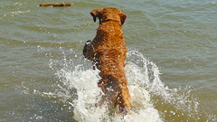 Retriever (swong95765) Tags: wood dog water river golden log action canine retriever splash fetch