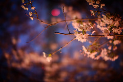Under the Lantern (H.H. Mahal Alysheba) Tags: flower tree japan night cherry tokyo nikon cherryblossom sakura nikkor sprint d800 58mmf12 noct