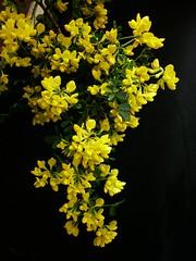 coronille (peltier patrick) Tags: flowers flower fleur fleurs jaune plante garden jardin feuilles feuille grappe fondnoir feuillage arbuste fleursjaunes coronille peltierpatrick
