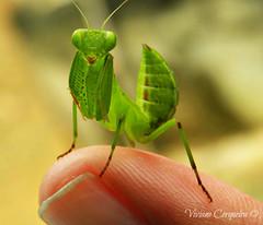 Micro Louva-a-Deus - Mantis (Viviane Cerqueira) Tags: brazil macro cute green nature brasil bug mantis photography cool nikon pretty close zoom sweet natureza ngc micro louvaadeus challengeyouwinner thechallengegame