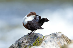 Dipper (Chas Moonie-Wild Photography) Tags: wild bird river scotland preening chas moonie dipper