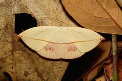 Uraniid Swallowtail Moth (Paradecetia albistellaria, Auzeinae, Uraniidae) (John Horstman (itchydogimages, SINOBUG)) Tags: china macro insect moth lepidoptera yunnan uraniidae itchydogimages sinobug auzeinae