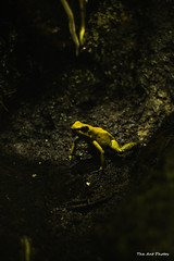 Happy SaveTheFrogDay (The Ant Photos) Tags: france macro nature conservation center frog protection biodiversity